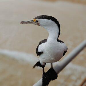 Sier & Watervogels